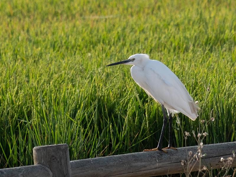 heron by the rice paddies